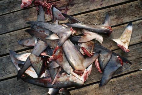 Sharks Fin 1